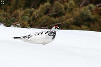 雪山のライチョウ - 野鳥公園