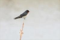 ツバメ幼鳥 - 風のささやき