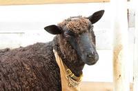 黒いヒツジ「なすび」~「ふれあい動物の里」と「子ども動物園」の動物たち(千葉市動物公園 June 2019) - 続々・動物園ありマス。