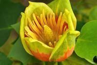 ユリノキが開花!うれしいナ♪・・・家(の近く)で写真を! シリーズ - 『私のデジタル写真眼』