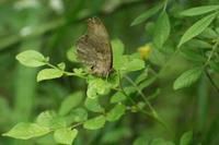 見沼田んぼでクロコノマチョウに11年ぶり再会ほかin2020.04.25~05.10 - ヒメオオの寄り道