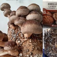 栽培セット・椎茸を購入 - 気ままな食いしん坊日記2