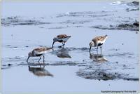 干潟のハマシギ - 野鳥の素顔 <野鳥と日々の出来事>