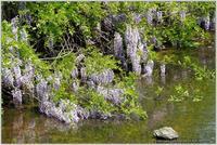 川原の山藤 - 野鳥の素顔 <野鳥と日々の出来事>