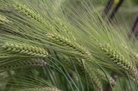 もち麦の美しさと稲の発芽 - 良え畝のブログ