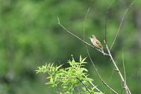 オオヨシキリさん - 鳥と共に日々是好日②