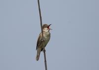 オオヨシキリ - 私の鳥撮り散歩