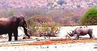 ゾウを威嚇するクロサイ - アニマル情報202X