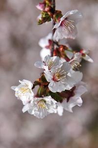 桜③ - Photo Of 北海道大陸