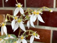 ☆ユキノシタの整理と鉢植えの花☆ - ガジャのねーさんの  空をみあげて☆ Hazle cucu ☆