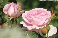 四季の香ローズガーデンに咲くバラの花(2) - 四季彩の部屋Ⅱ