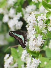 やっと出会えた今年初のオナガアゲハ - 蝶超天国