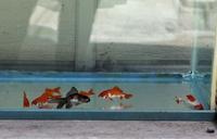 金魚 - 自然の中でⅡ
