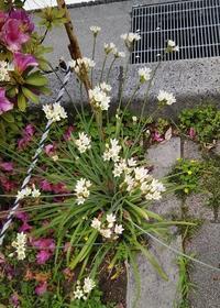 """""""アリウム・コワニー""""ってこういう風に咲くんだぁ・・・ - 健気に育つ植物たち"""
