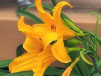 豪華絢爛♪ 我が家のトビシマカンゾウが開花!・・・家(の近く)で写真を! シリーズ - 『私のデジタル写真眼』