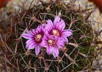 サボテンの花 - ひな日記