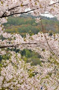 桜④ - Photo Of 北海道大陸