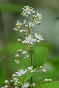 グミの花 - あだっちゃんの花鳥風月