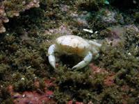 #512ゴイシガニ - ランゲルハンス島の海