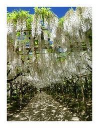 今年のフラワーパーク(5/11)  2白藤と白い花 - あおいそら