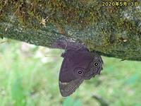 クロヒカゲ初見 - 秩父の蝶