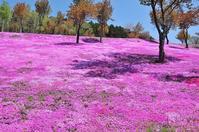 芝桜① - Photo Of 北海道大陸
