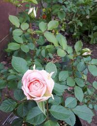 バラの蕾が(〃´ω`〃) - わらびの庭づくり。時々猫