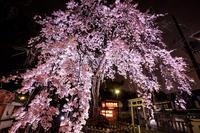 2020桜咲く京都木花桜ライトアップ(縣神社) - 花景色-K.W.C. PhotoBlog