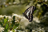 2020年ジカドアゲハ - 蝶と自然の物語