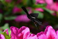 オナガアゲハ・・・ツツジに吸蜜 - 続・蝶と自然の物語