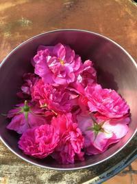 食香バラの収穫。。♡ - 妖精と香りの庭