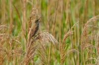 河川敷の大葦切(オオヨシキリ) - 野鳥などの撮影記録