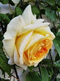 リベルラ&シェエラザード開花状況 - 小庭の園芸日記