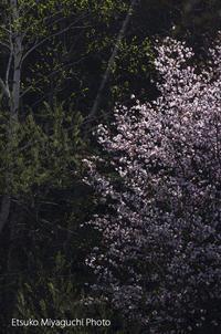 桜輝いて - ekkoの --- four seasons --- 北海道