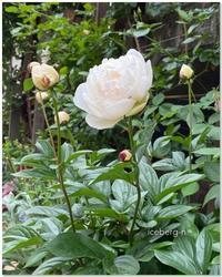 シャクヤクとバラ - 小さな庭 2