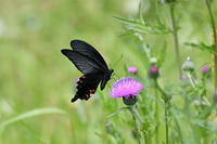 アザミにクロアゲハ - 続・蝶と自然の物語