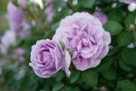 庭の薔薇[2020/5/14] - 春&ナナと庭の薔薇