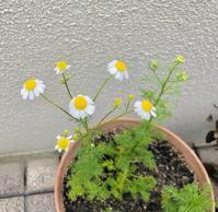 カモミールの花が咲きました - 笑わせるなよ泣けるじゃないか2