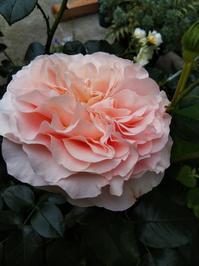 せん、アリアドネなどの開花状況 - 小庭の園芸日記