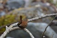 渓流のミソサザイ - 新 鳥さんと遊ぼう
