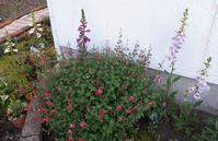 まとまりのない話 - わらびの庭づくり。時々猫