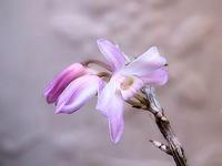 古典園芸の植物、ふたつ - しらこばとWeblog