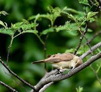 オオヨシキリⅡ - 打出頑爺の鳥探し
