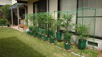 鉢植えブルーベリー簡易防鳥網設置 - 初めてのブルーベリー栽培記