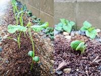 枝豆の成長 - NATURALLY