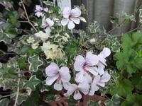 斑入りアイビーゼラニウム - だんご虫の花