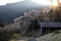 2020桜咲く奈良福西邸の大しだれ桜(前編) - 花景色-K.W.C. PhotoBlog
