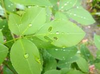 雨庭の青… - 侘助つれづれ