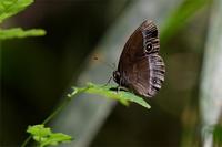 コジャノメ・・・今年初撮り - 続・蝶と自然の物語