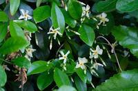 ■白い草花 3種20.5.16(テイカカズラ、スイカズラ、トキワツユクサ) - 舞岡公園の自然2